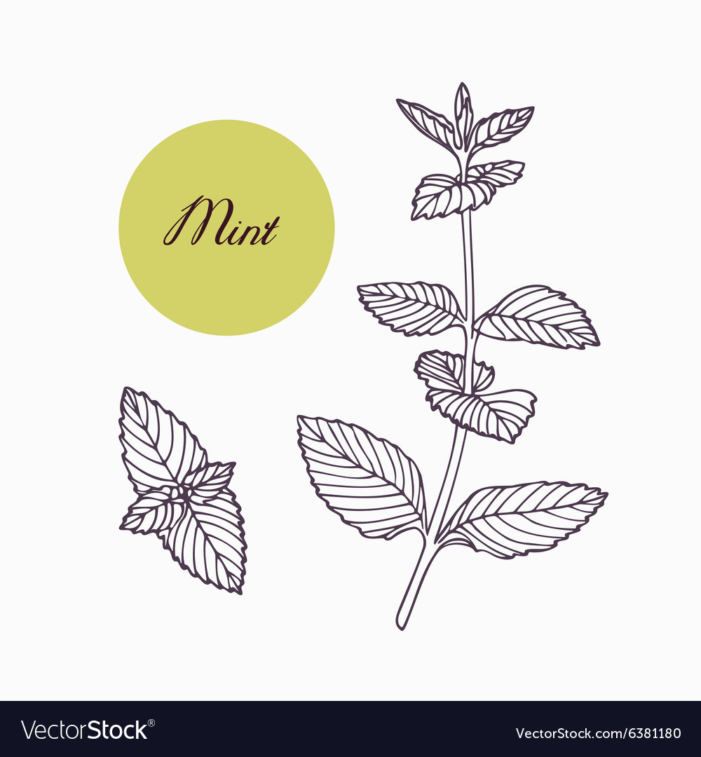 Hand drawn mint branch with leaves isolated on vector