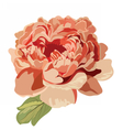 Peony pink flower isolated vector image