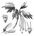 Creek Maple vintage engraving vector image vector image