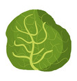 cabbage fresh vegetable icon vector image