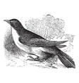 Yellow-billed Cuckoo engraving vector image vector image