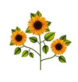 sunflower plant in white background vector image