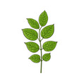 beautiful hand drawn honeysuckle leaves twig vector image