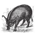 Warthog vintage engraving vector image vector image