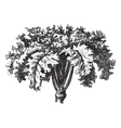 Swedish Turnip vintage engraving vector image vector image