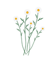 White Daisy Blossoms on A White Background vector image