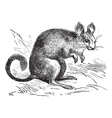 Chinchilla vintage engraving vector image