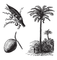 Coconut Palm vintage engraving vector image