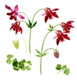Collection of watercolor aquilegia flowers vector image vector image