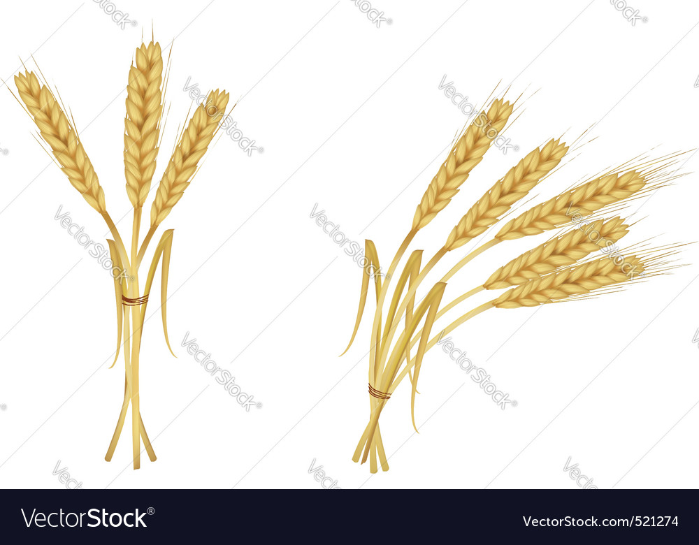Two group wiith ears of wheat vector