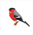 bullfinch bird vector image