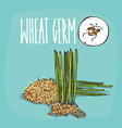 set of isolated plant wheat germ grains herb vector image