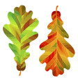 two autumn oak leaves isolated on white vector image