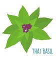 Essential ingredient fresh thai basil leaf vector image
