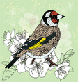 Goldfinch at the cherry blossoms vector image