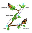 life cycle of butterfly vector image