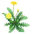 Dandelion flower isolated vector image