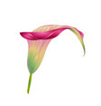 calla lily pink flower herbaceous perennial vector image
