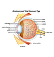 Human eye anatomy vector image