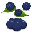 blueberries vector image