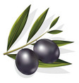 realistic of black and olives branch vector image