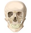 Realistic human skull vector image