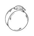 apricot sketch vector image