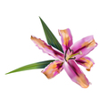 Pink lily flower vector image
