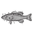 small mouthed black bass vintage vector image