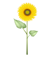 An Elegant Perfect Sunflower on White Background vector image