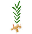 ginger with roots and leaves vector image
