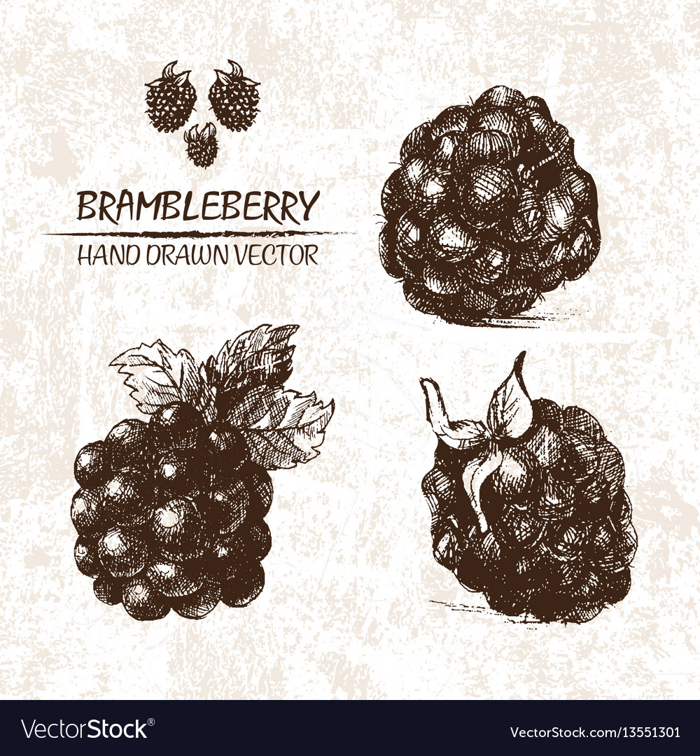 Digital detailed brambleberry hand drawn vector