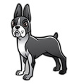 cute boston terrier dog vector image