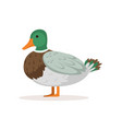 domestic duck poultry breeding vector image