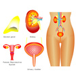 Urinary system vector image