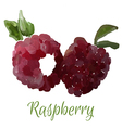 isolated raspberry vector image