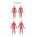 human muscles Female and male vector image