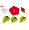 set of flower leaves and bud of plant hibiscus vector image