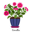 camellia plant in pot vector image