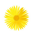 yellow daisy flower isolated on white vector image