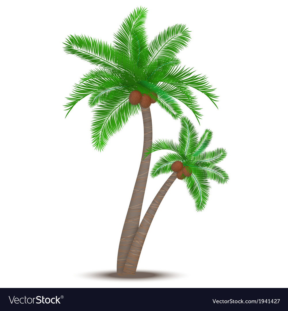 Tropical palm tree with coconuts vector