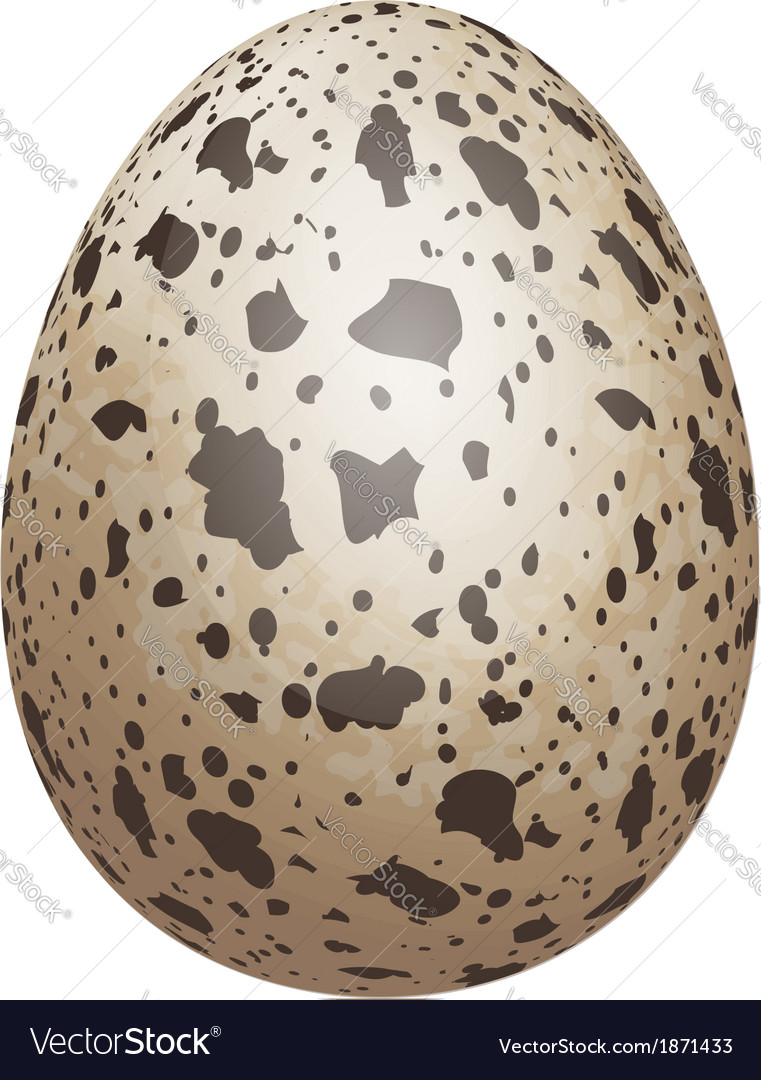 Quail egg isolated vector