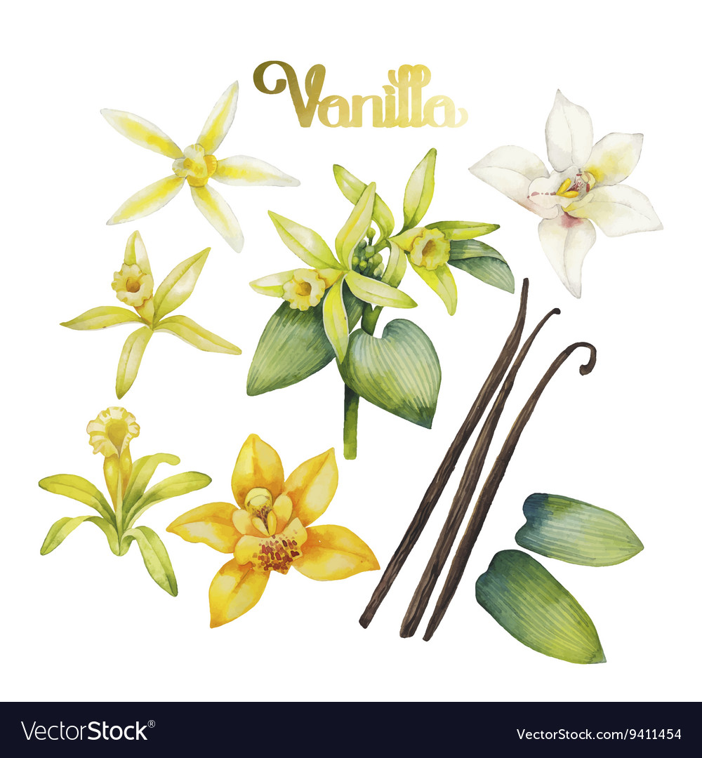 Watercolor vanilla flower vector