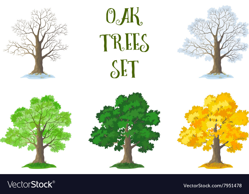 Oak trees set seasons vector