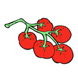 tomatoes on vine vector image
