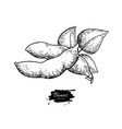 white bean plant hand drawn vector image