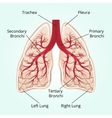 Structure of the lungs vector image