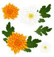 yellow and white chrysanthemum flower vector image