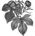 Common Hop vector image
