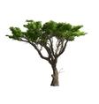 Acacia tree isolated vector image